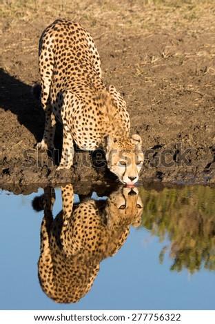 Cheetah, with reflection, drinking water in Serengeti National Park, Tanzania  - stock photo