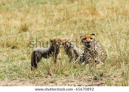 Cheetah with young cubs in Masai Mara, Kenya
