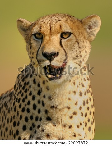 Cheetah yawning - stock photo