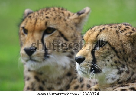 Cheetahs - stock photo