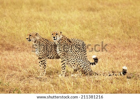 Cheetahs (Acinonyx jubatus) on the Masai Mara National Reserve safari in southwestern Kenya. - stock photo