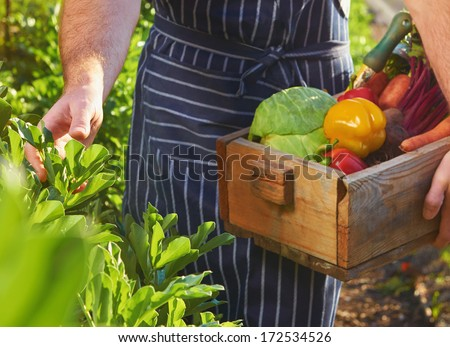 Chef harvesting fresh vegetables off the local sustainable organic farm - stock photo