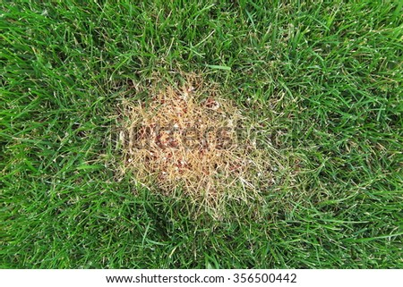 Chemical burn caused by the excessive use of the granular lawn fertilizer on the fresh lawn in the autumn garden - stock photo