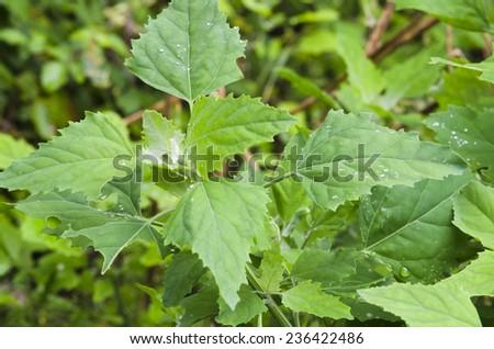 Chenopodium album leaves - stock photo