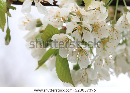 cherries flowers as very nice natural background