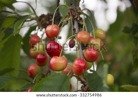 Cherries growing on a tree in Germany - stock photo
