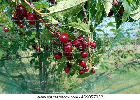 Cherries on the tree with protective netting to keep birds from eating the fruit.