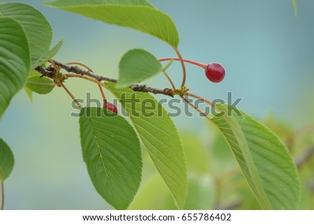 cherry and leaves, vivid red