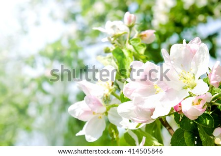 Cherry apple blossoms over nature background Spring flowers Spring Background