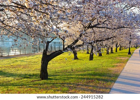 Cherry blossom abundance in East Potomac Park, Washington DC. Alley in the morning with blossoming cherry trees. - stock photo