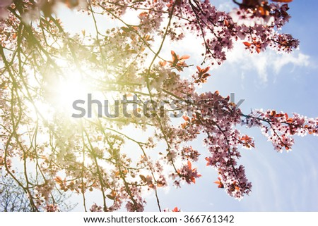 Cherry Blossom and Blue Cloudless Sky