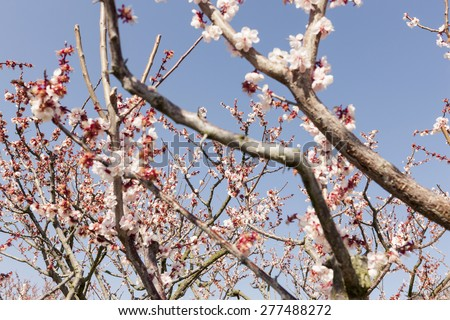 Cherry Blossom and branch close up in the blue sky at the early spring, japan.