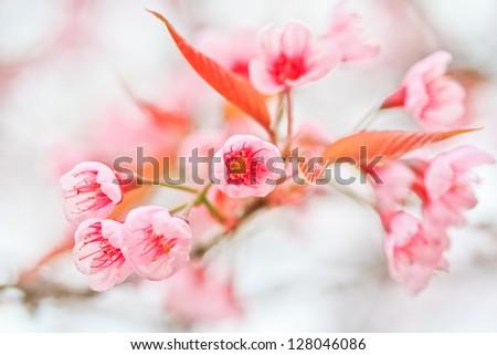 Cherry Blossom and sakura - stock photo