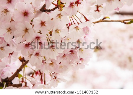 Cherry Blossom at Sakura in Japan. - stock photo