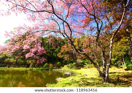 Cherry Blossom Branch. - stock photo