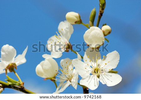 Cherry blossom branch close-up with opened flowers against the background of blue sky - stock photo