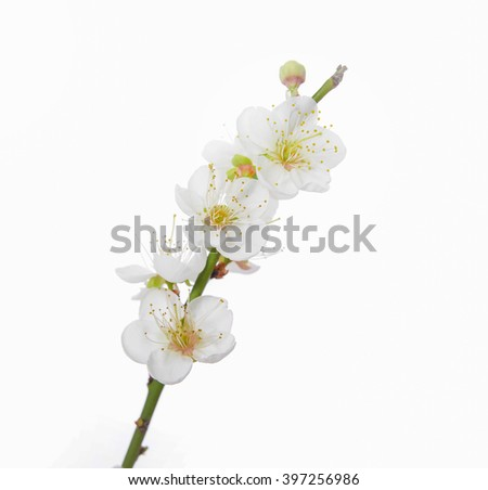 Cherry blossom branch-white background - stock photo