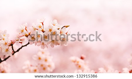 Cherry blossom branch  with beautiful pastel pink background. - stock photo