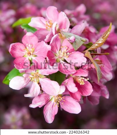 cherry blossom, close-up - stock photo