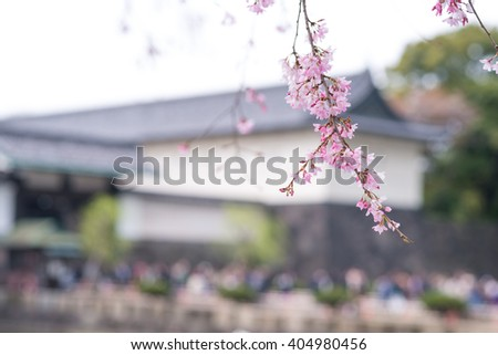 Cherry blossom during spring in front of Tokyo Imperial Palace gate. Focus on sakura flowers - stock photo