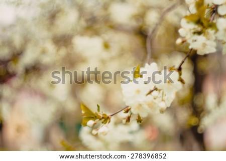 Cherry blossom flower. Background blur bokeh. defocused image - stock photo