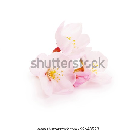 Cherry blossom flower isolated on white. - stock photo