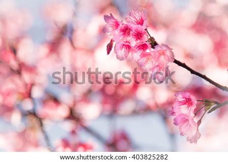 cherry blossom flowers - stock photo