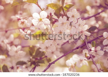 cherry blossom flowers close up, vintage toned photo - stock photo
