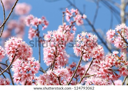 Cherry blossom flowers with the blue sky in the background - stock photo