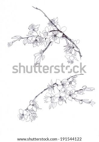 cherry blossom hand drawn pencil - stock photo
