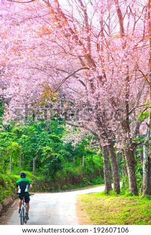 Cherry Blossom in chiangmai forest and Cyclist - stock photo