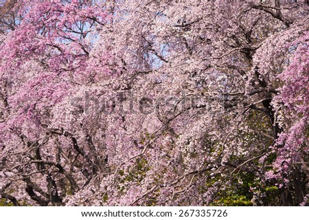 Cherry blossom in full bloom. Focus is on the center flowers. - stock photo