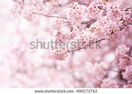 Cherry blossom in full bloom. Shallow depth of field. Focus on center flower cluster. - stock photo