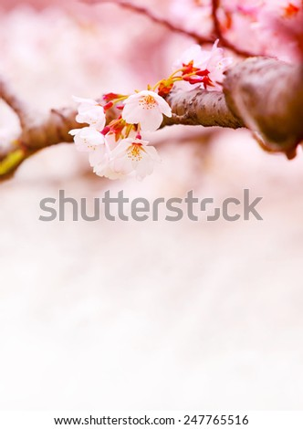 Cherry blossom in spring, wth plenty of copy space.  - stock photo