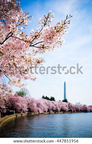 Cherry Blossom in Washington DC