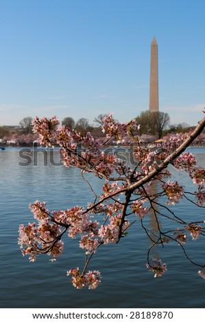 Cherry Blossom in Washington DC, Washington Monument in the background