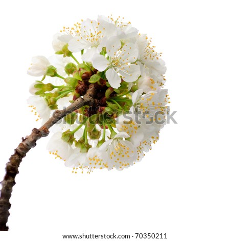 cherry blossom isolated on white background. macro - stock photo