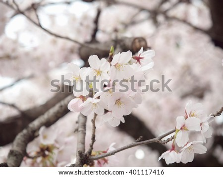 Cherry blossom on tree in Japan, selective focus with blurry background of another blossoms and branches of tree)