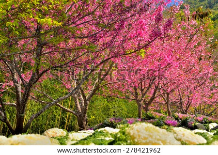 Cherry blossom or sakura flowers in doi angkhang mountain (Royal Agricultural Station Angkhang), Chiangmai : Thailand - stock photo