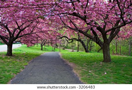 Cherry Blossom Path - stock photo