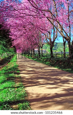 Cherry Blossom Pathway in Chiang Mai, Thailand - stock photo