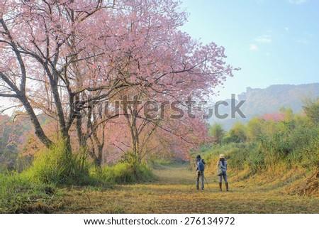 Cherry Blossom Pathway in ChiangMai, Thailand - stock photo