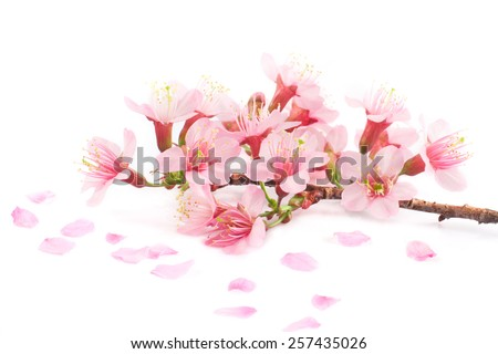 Cherry blossom, Pink sakura flower isolated on white background. - stock photo