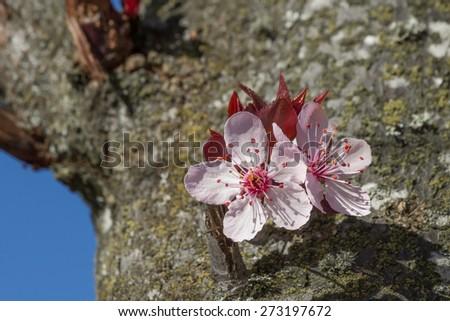 cherry blossom Sakura - stock photo