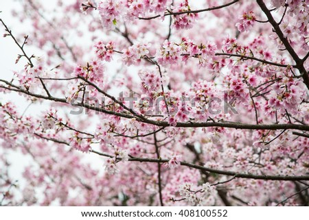 Cherry blossom, sakura flower in Japan
