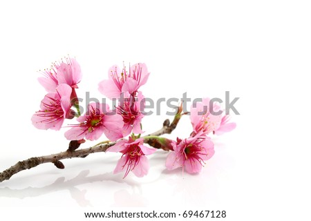 Cherry blossom ,sakura flower, isolated on white background