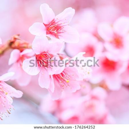 Cherry blossom, sakura flowers  background  - stock photo