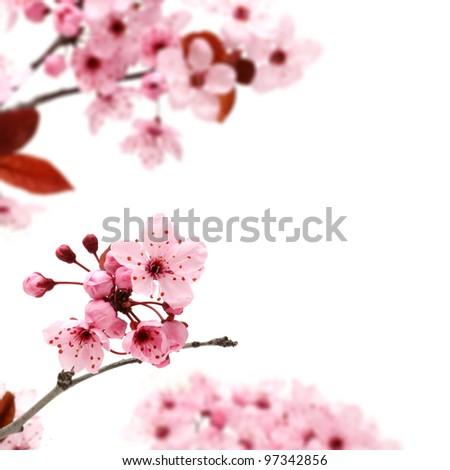 Cherry blossom, sakura flowers isolated on white background - stock photo