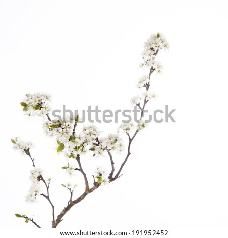 Cherry blossom, sakura flowers  on white background - stock photo