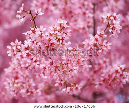 Cherry Blossom. Sakura in Springtime. Beautiful Pink Flowers - stock photo